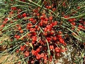 Ефедра – една от полезните билки за отслабване.