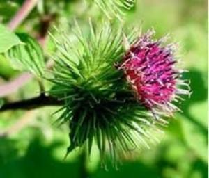 Корените от репей са полезни за регулиране нивата на повишената пикочна киселина